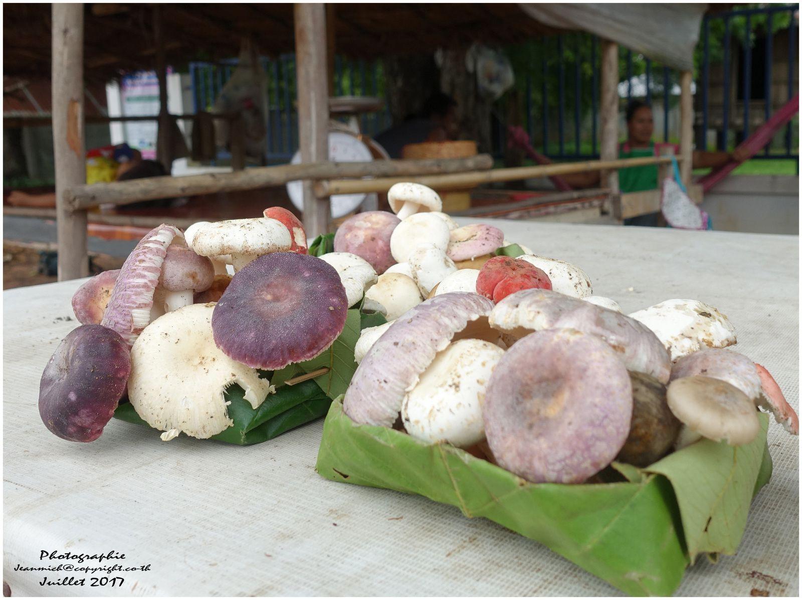 Des spécimens de russules charbonnière comestibles et délicieuses(les spécimens bleutés), malheureusement mélangées a d'autres russules inconnues......