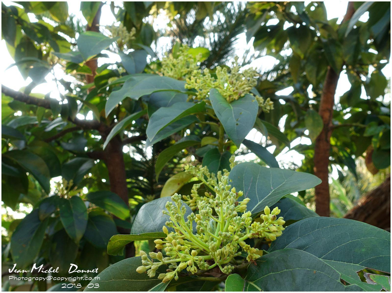l'avocatier et ses fleurs (thaïlande) - le blog de khon-kaen et de l