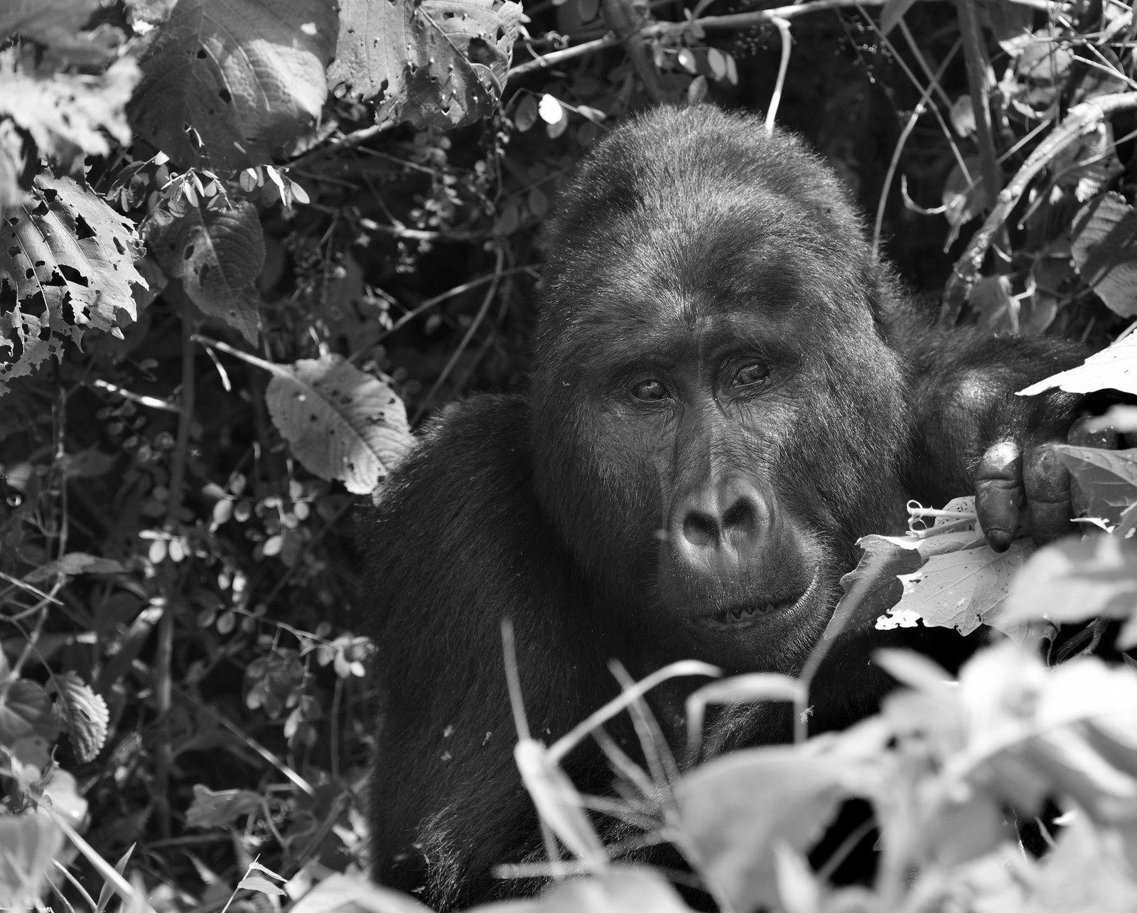 tracking the gorilla in ouganda - by albi