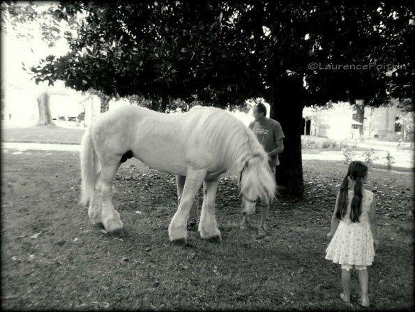 © Photo Laurence Poitrin - Etalon boulonnais au Haras National de Tarbes durant le Festival Equestria