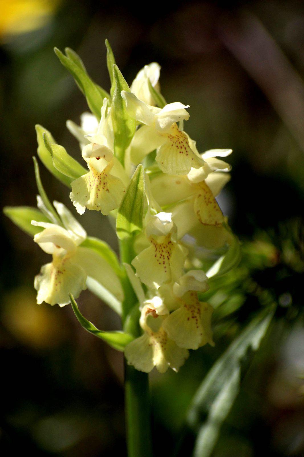 Orchidées sauvage de la Ste Baume