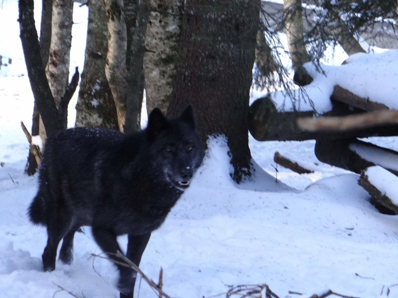 Loup du Canada