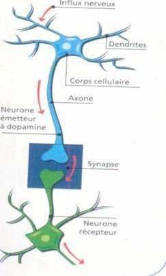 De la transmission synaptique !