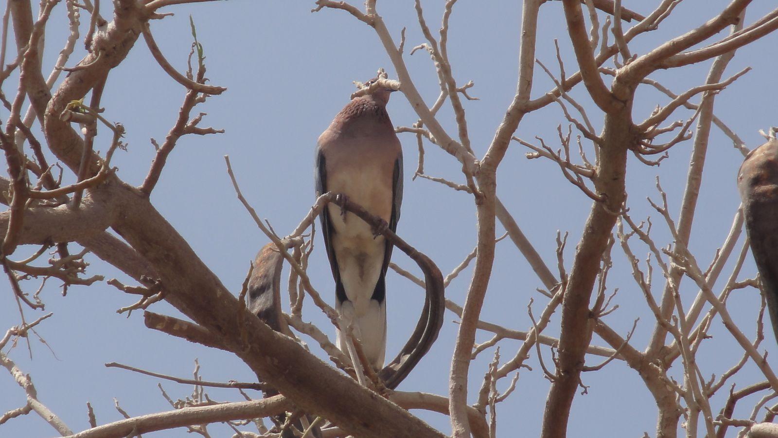 Les oiseaux de SHAR MEL SHEK ( Egyte)