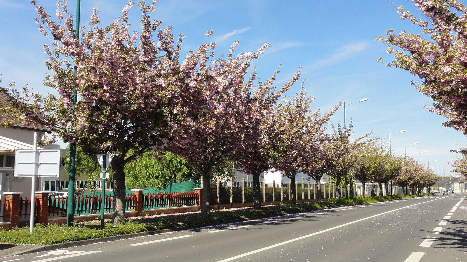 Les prunus fleuris devant ARO et la reconversion réussie .