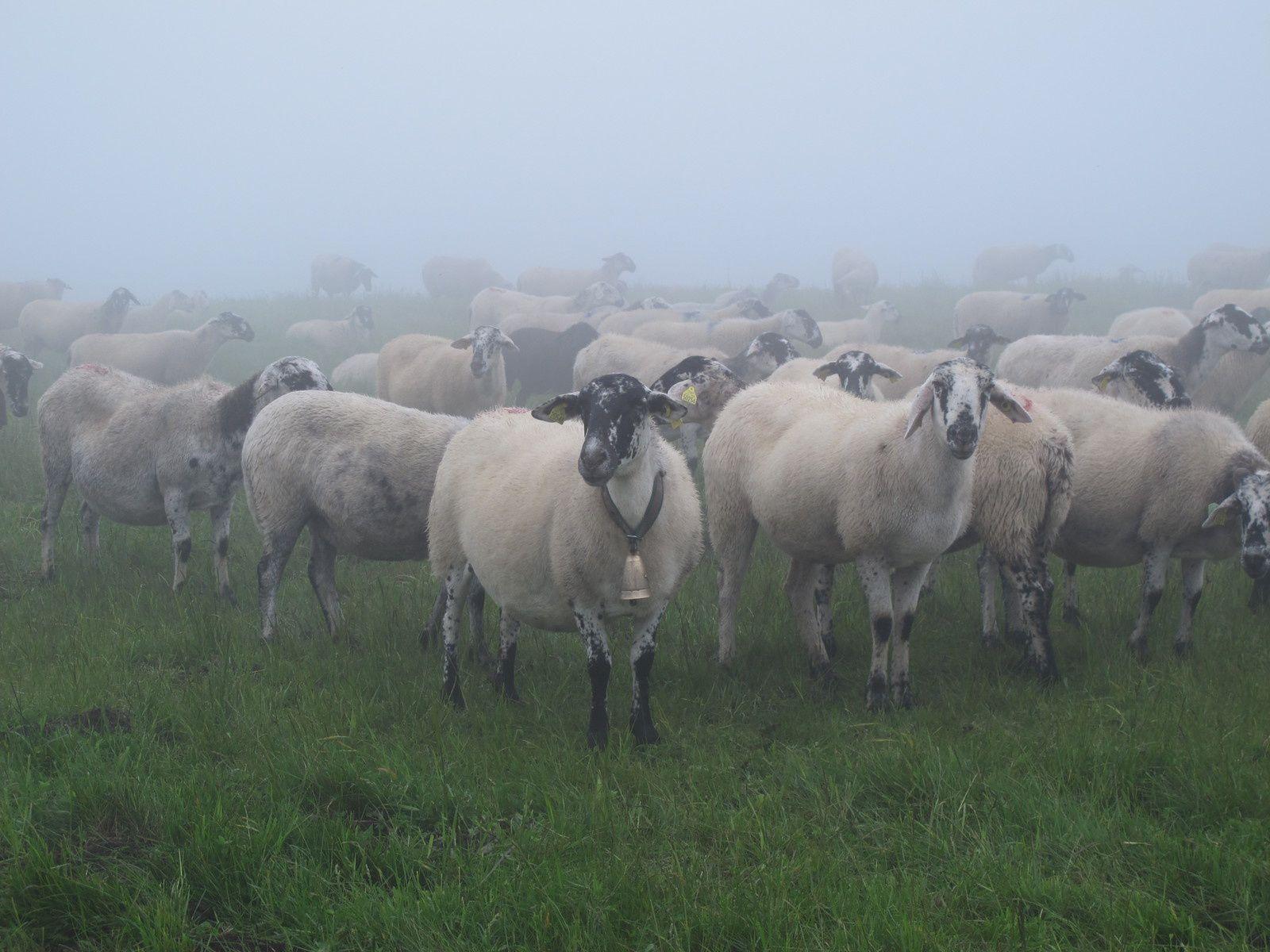 Même les brebis sont surprises de voir surgir de la brume des randonneurs !