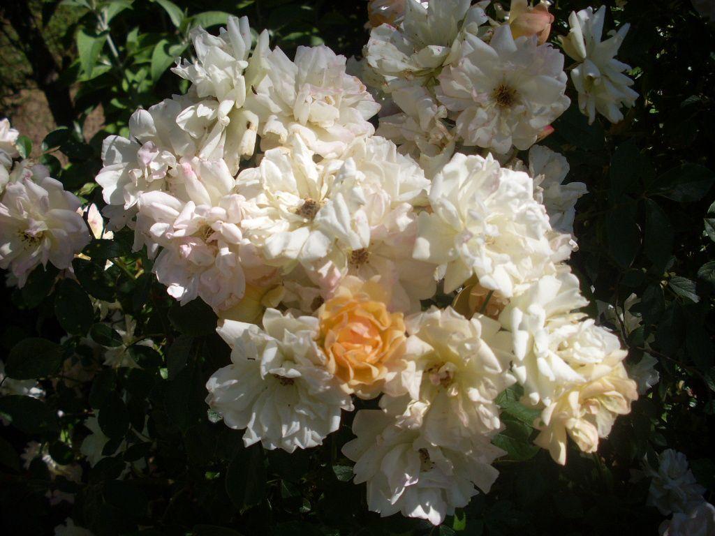Une longue floraison généreuse et remontante donne à ce rosier un attrait permanent, même à l'ombre d'arbres...
