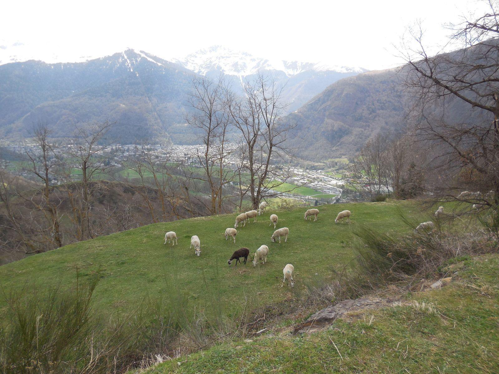 et les moutons sont prêts à gagner les hauts pâturages.