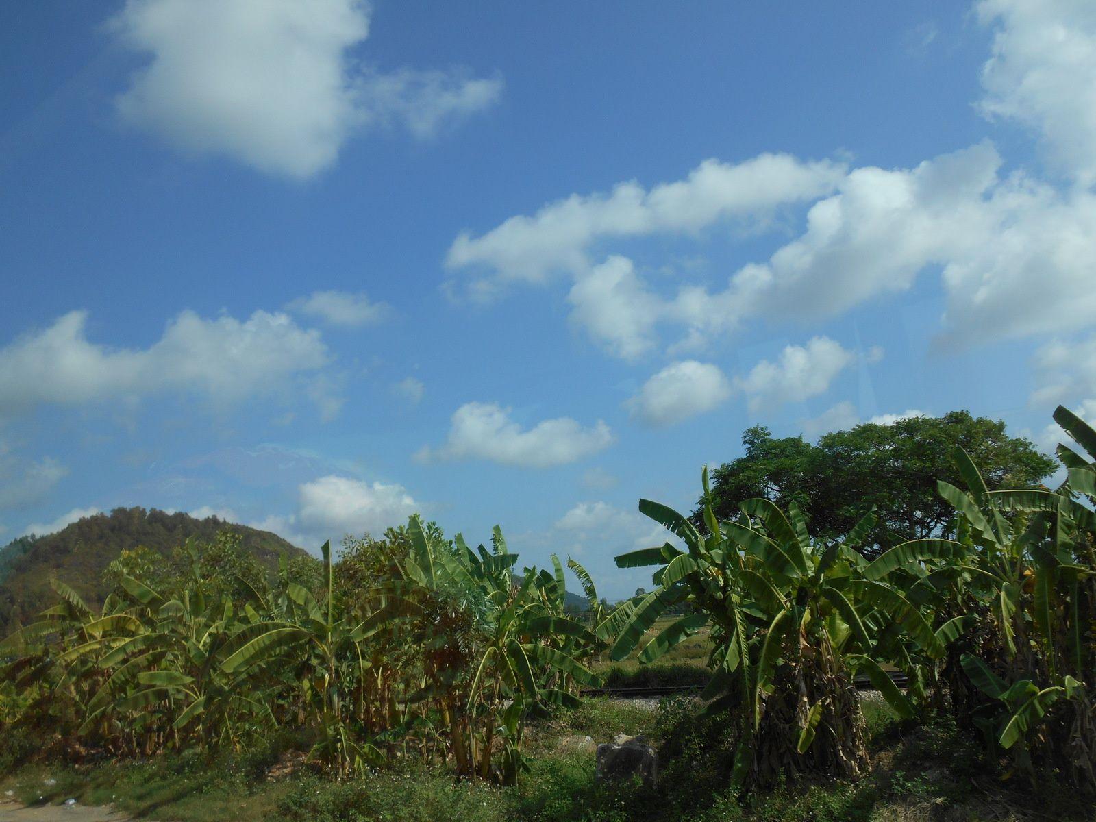 Plantations de bananiers...