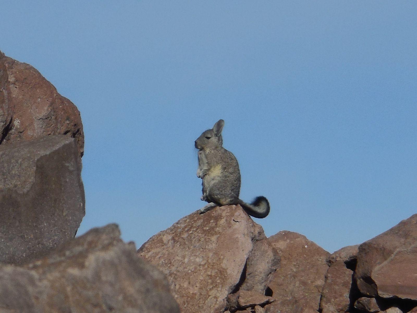 Animal voisin du chinchilla, il possède une tête de lapin, la queue d'un écureuil et pose comme une marmotte...amusantl!!!