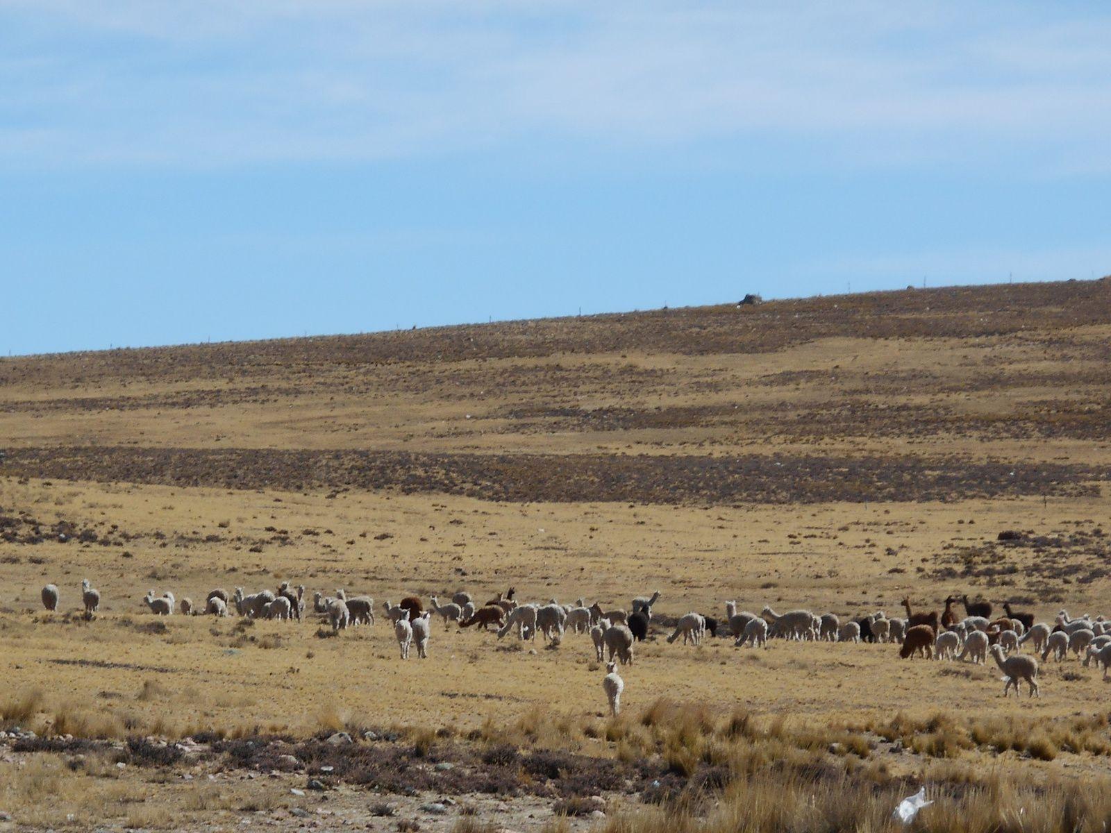 troupeaux d'alpagas...