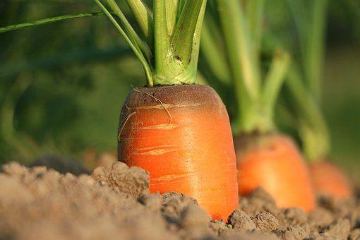 Les expressions de nos jardins: &quot&#x3B;Les carottes sont cuites&quot&#x3B;