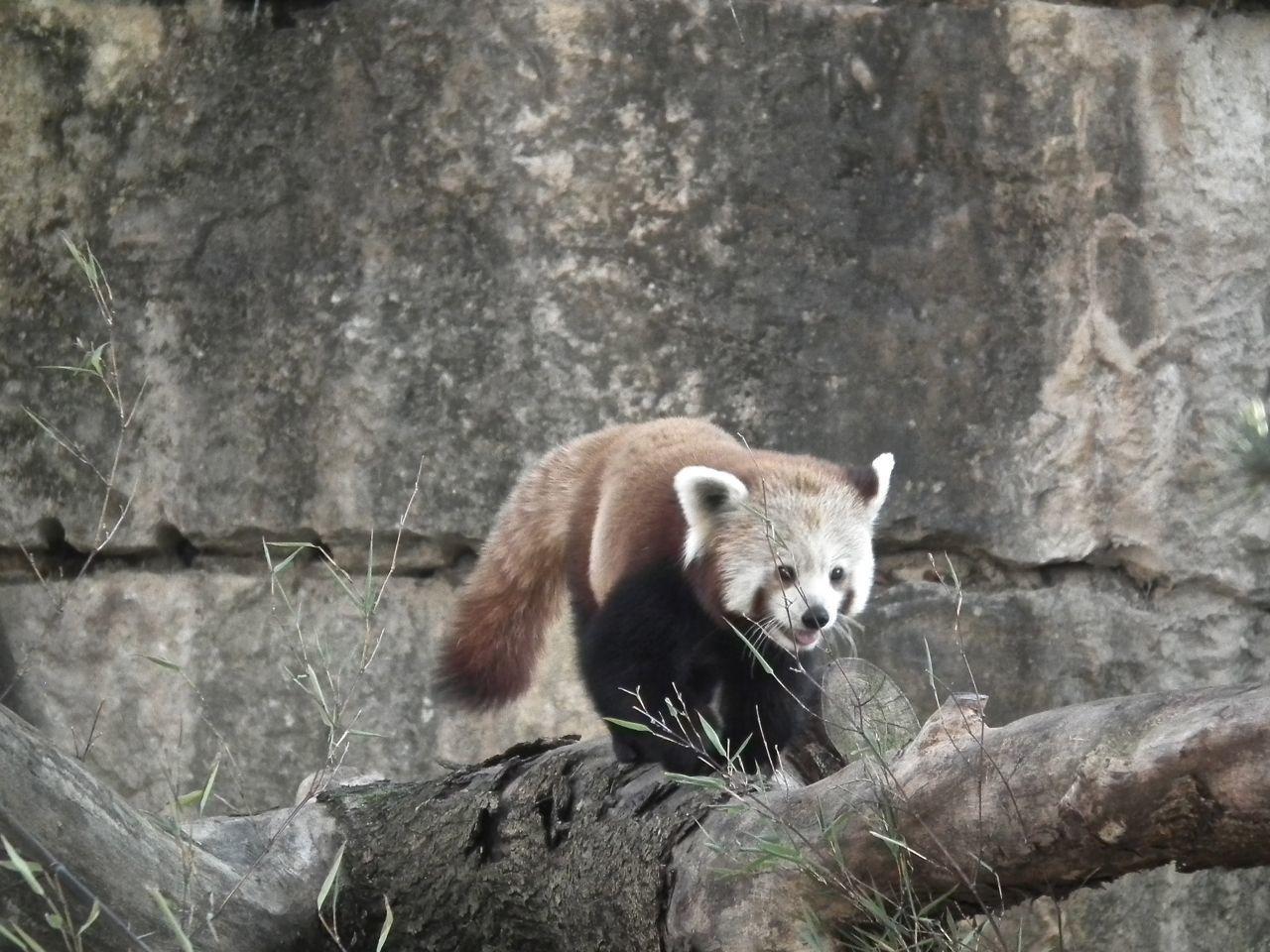Petit Panda sur la liste rouge des espèces en voie de disparition.