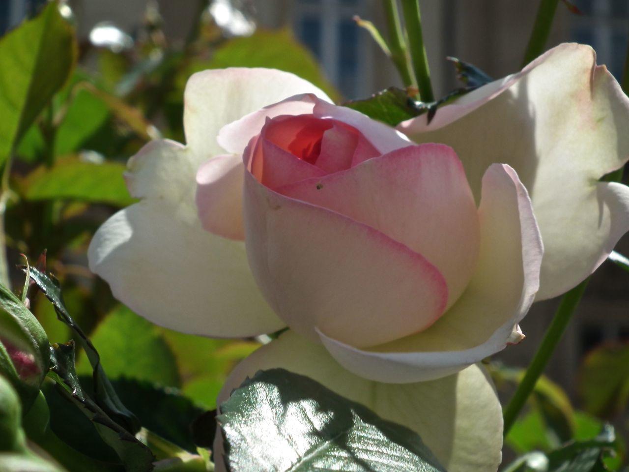 Des pas autour des roses! 2