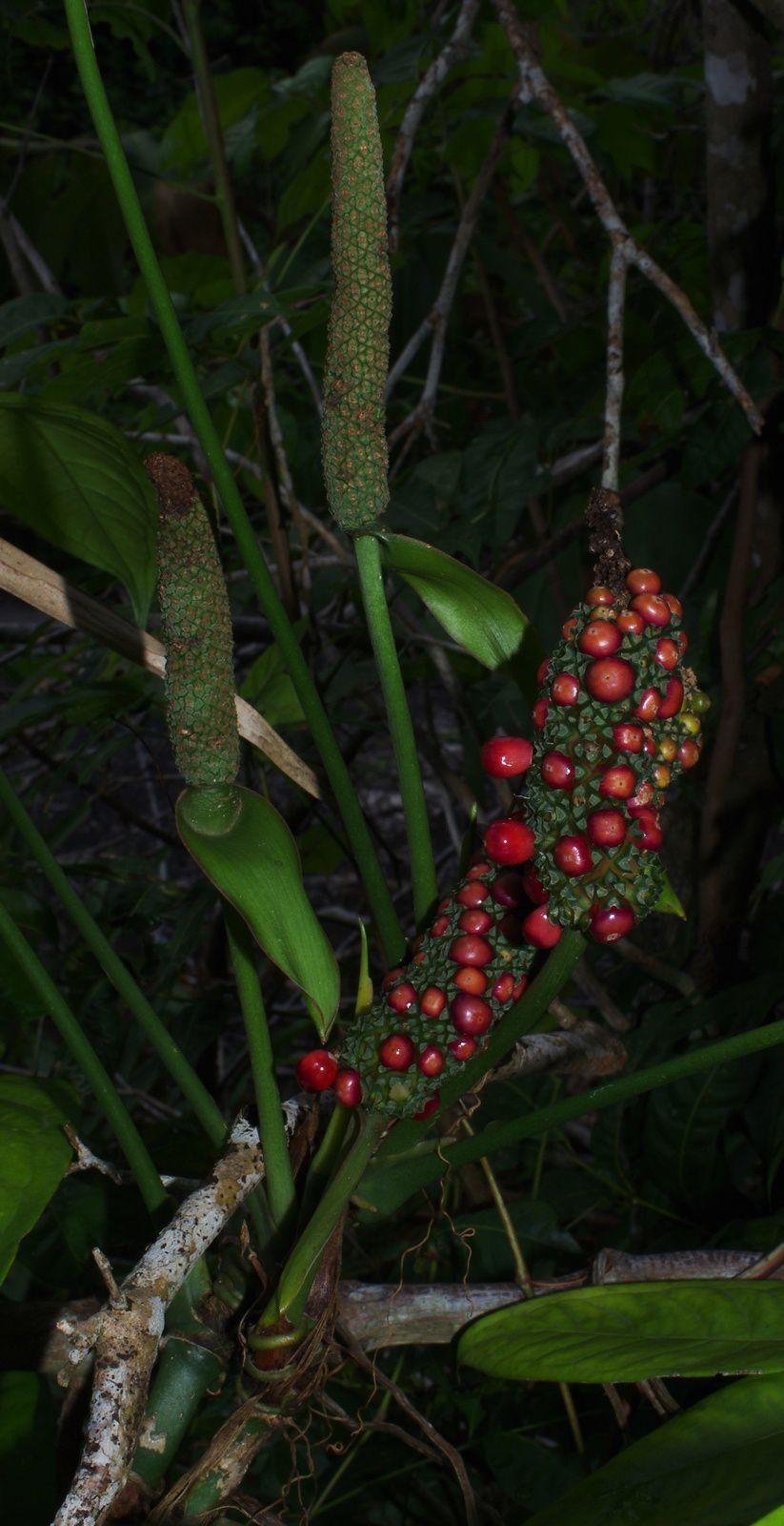 Anthurium pentaphyllum