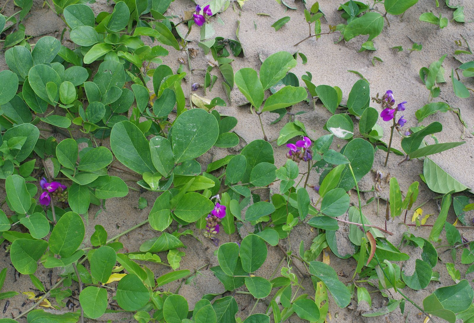 Canavalia rosea (haricot plage)