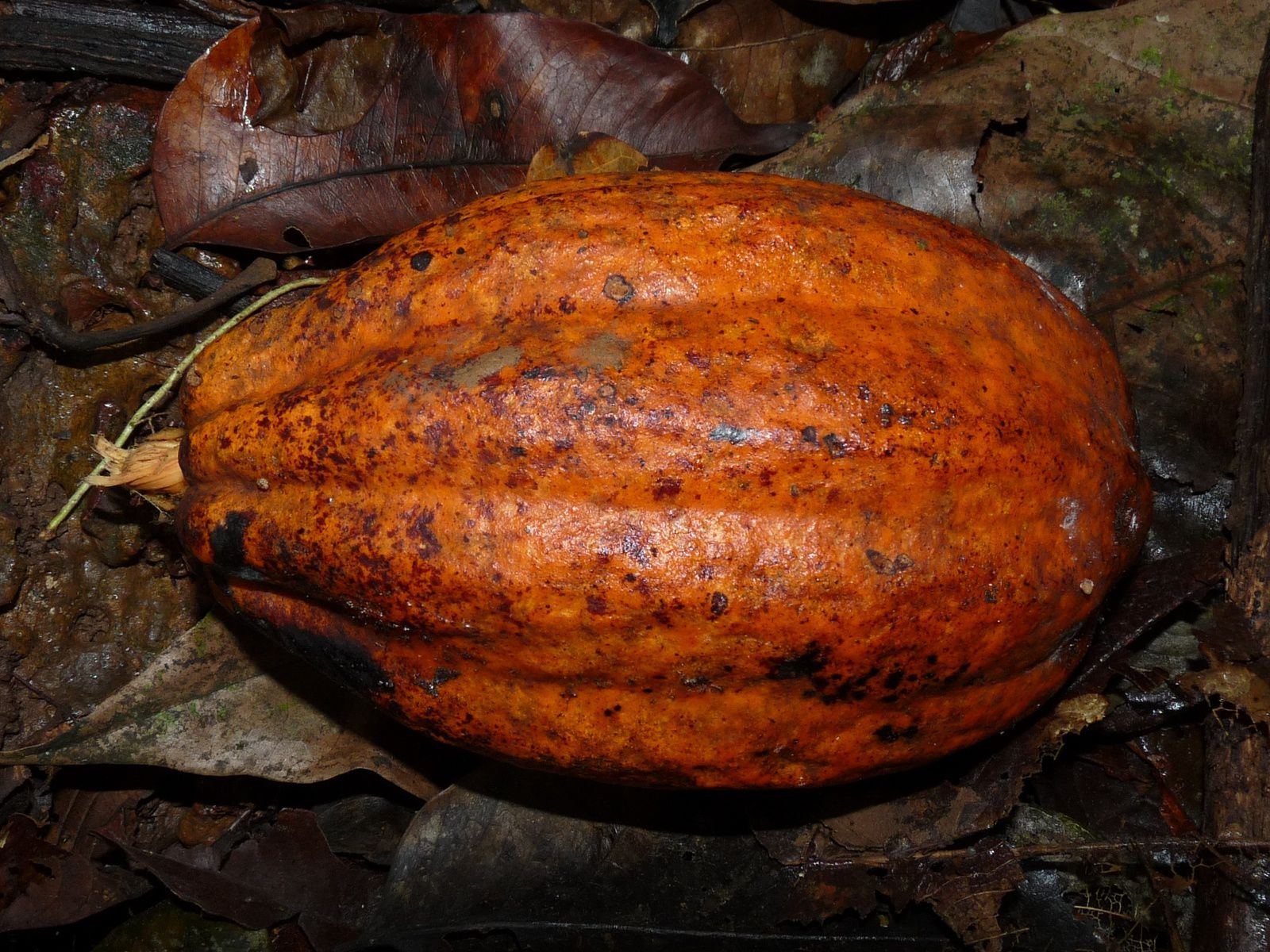 Theobroma cacao (cacaoyer)