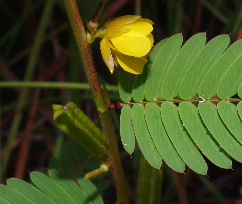 Chamaecrista nictitans subsp. patellaria var. praetexta