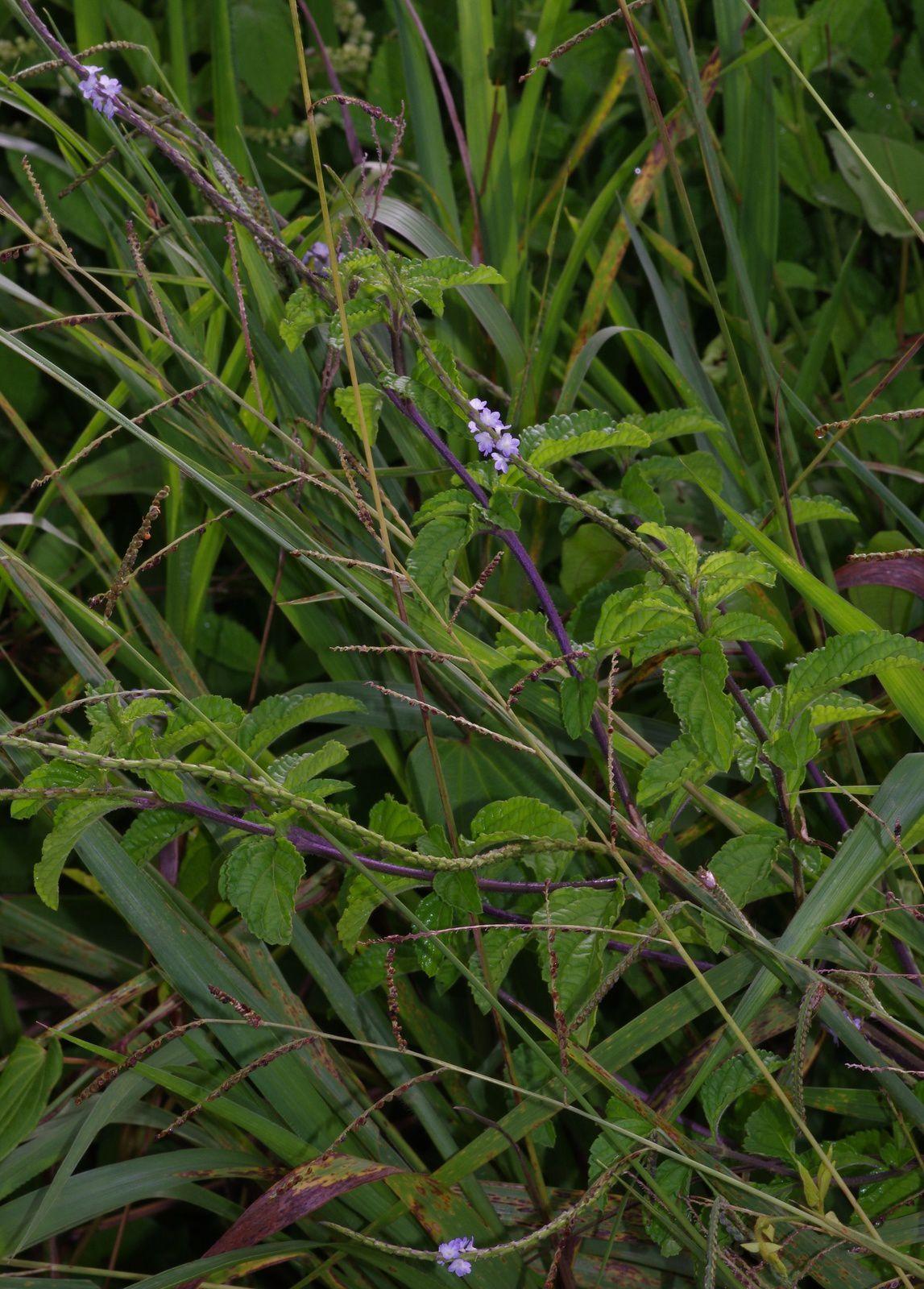 Stachytarpheta cayennensis (verveine queue de rat, ti verveine)