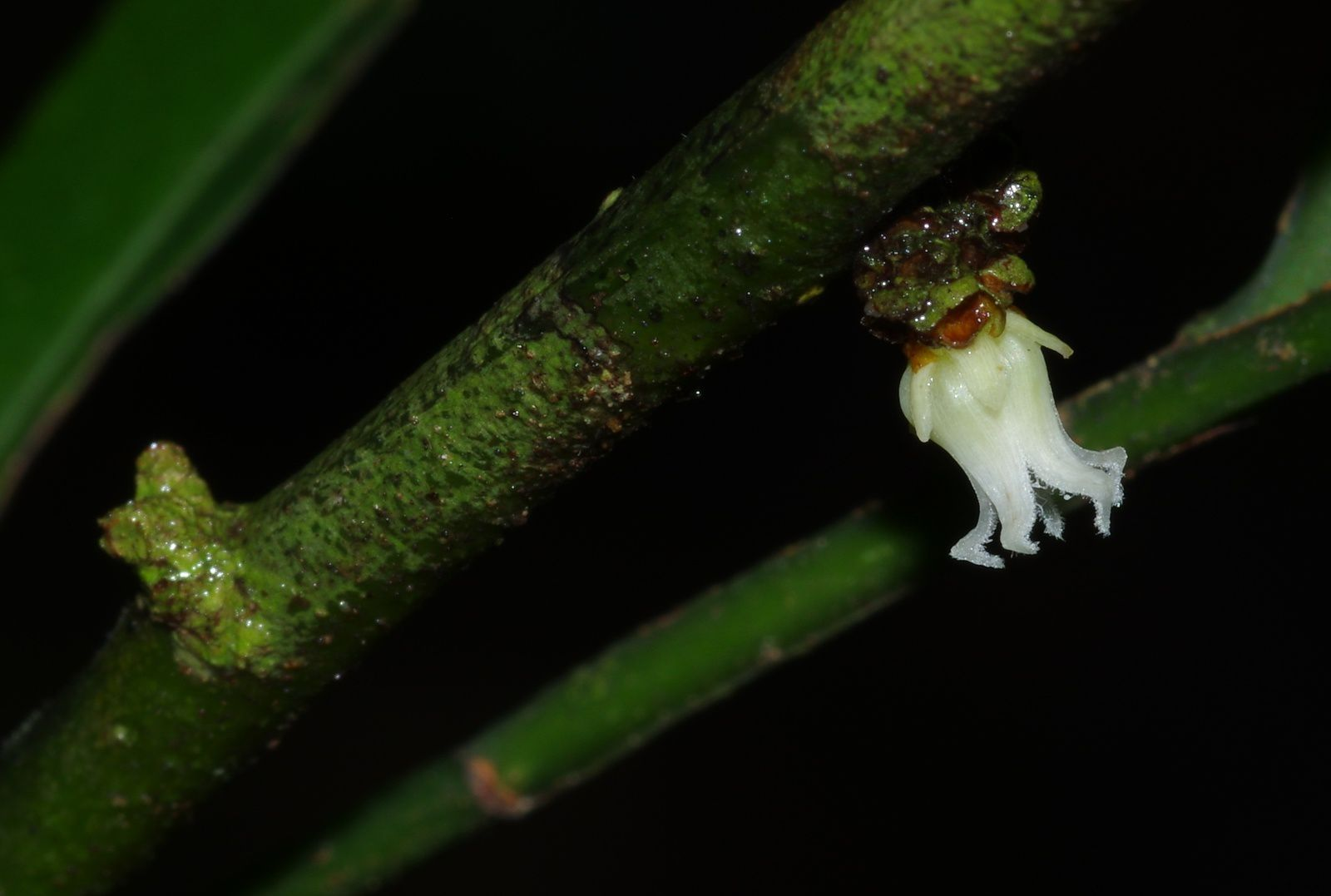 Heisteria cauliflora