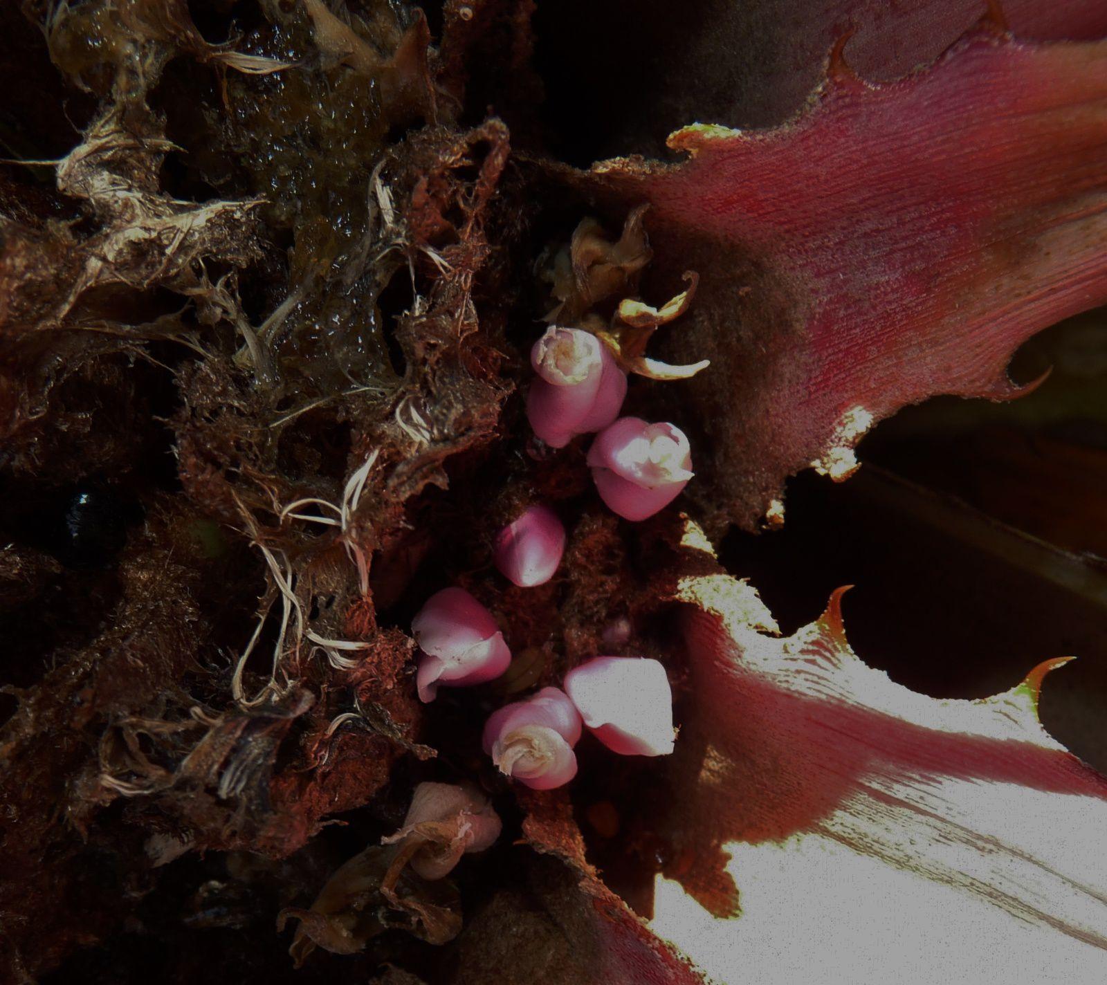 Bromelia plumieri