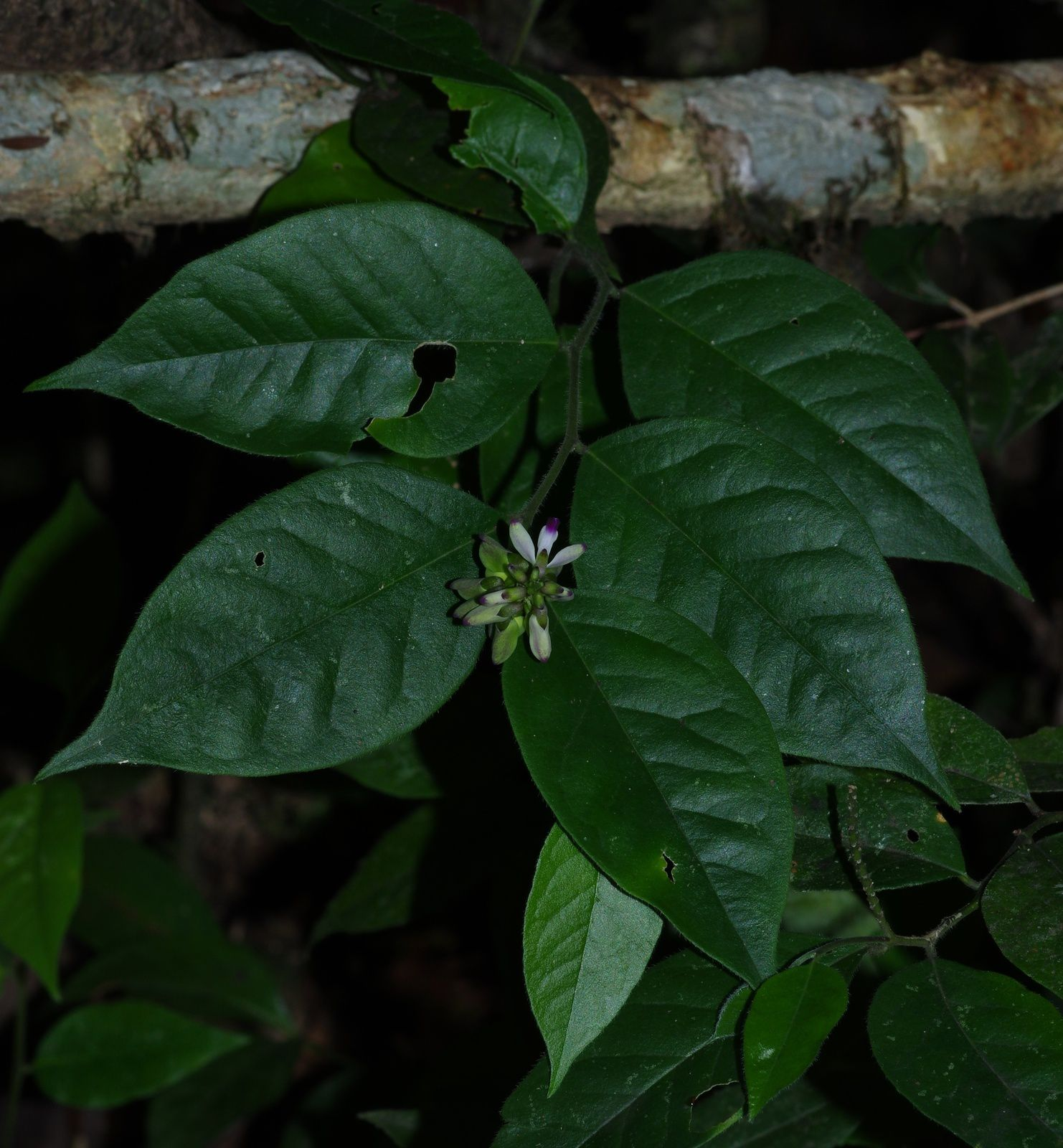 Asemeia echinosperma