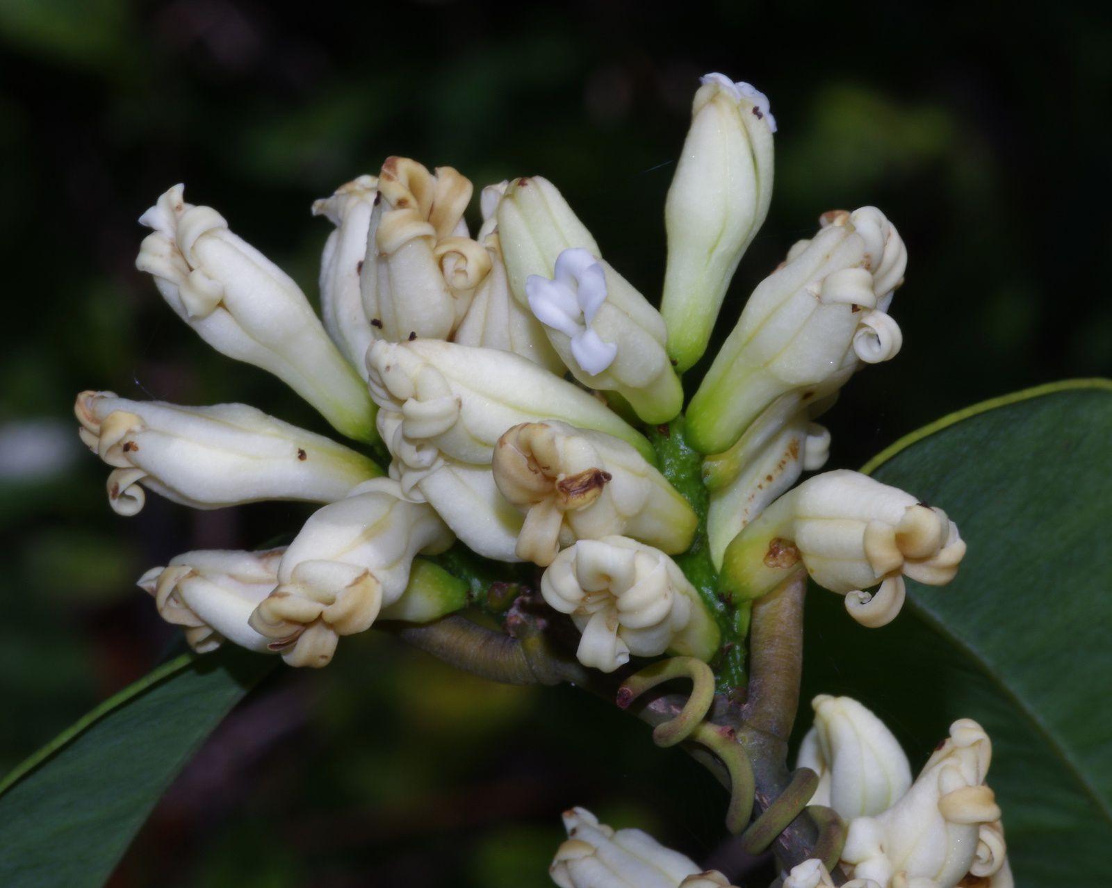 Moutabea guianensis (moutabié de la Guyane, graines macaque)
