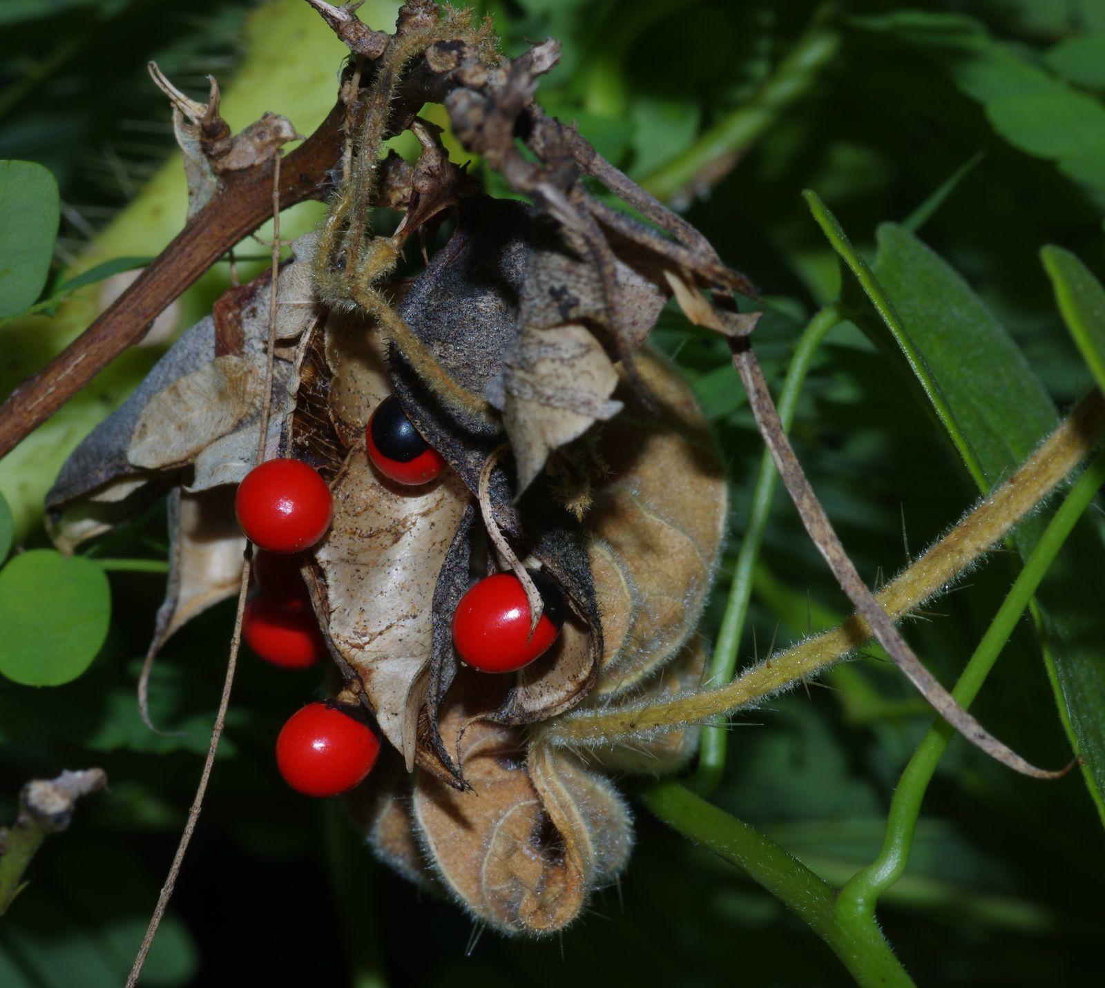 Abrus precatorius (ti panacoco, pois rouge, haricot paternoster)