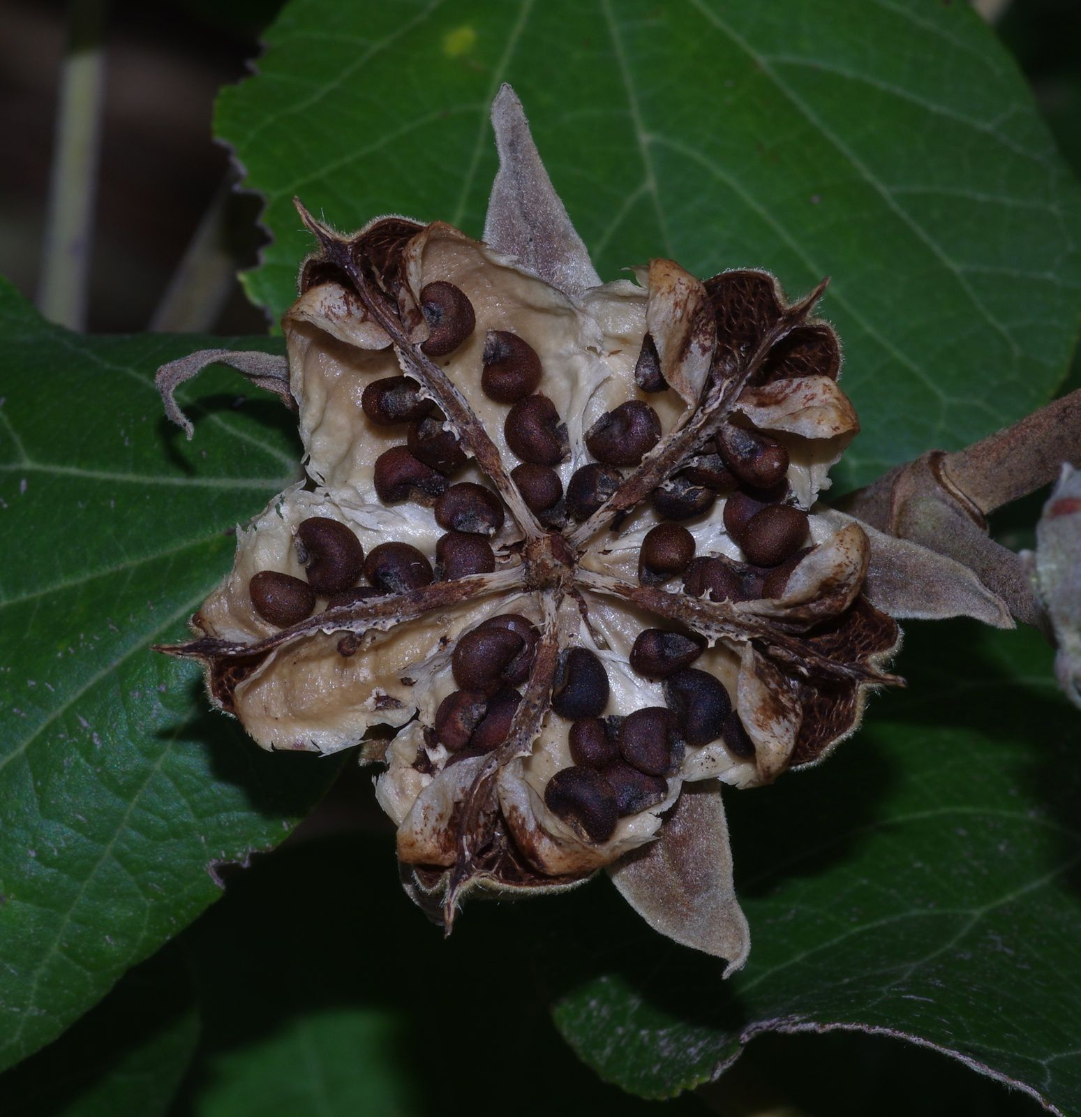 Talipariti tiliaceum (hibiscus bord de mer)