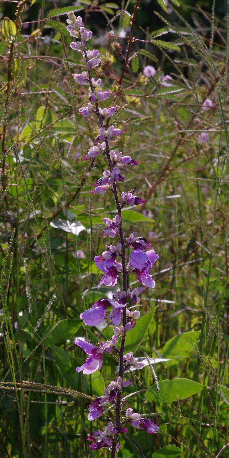 Dioclea virgata (variations de couleurs)