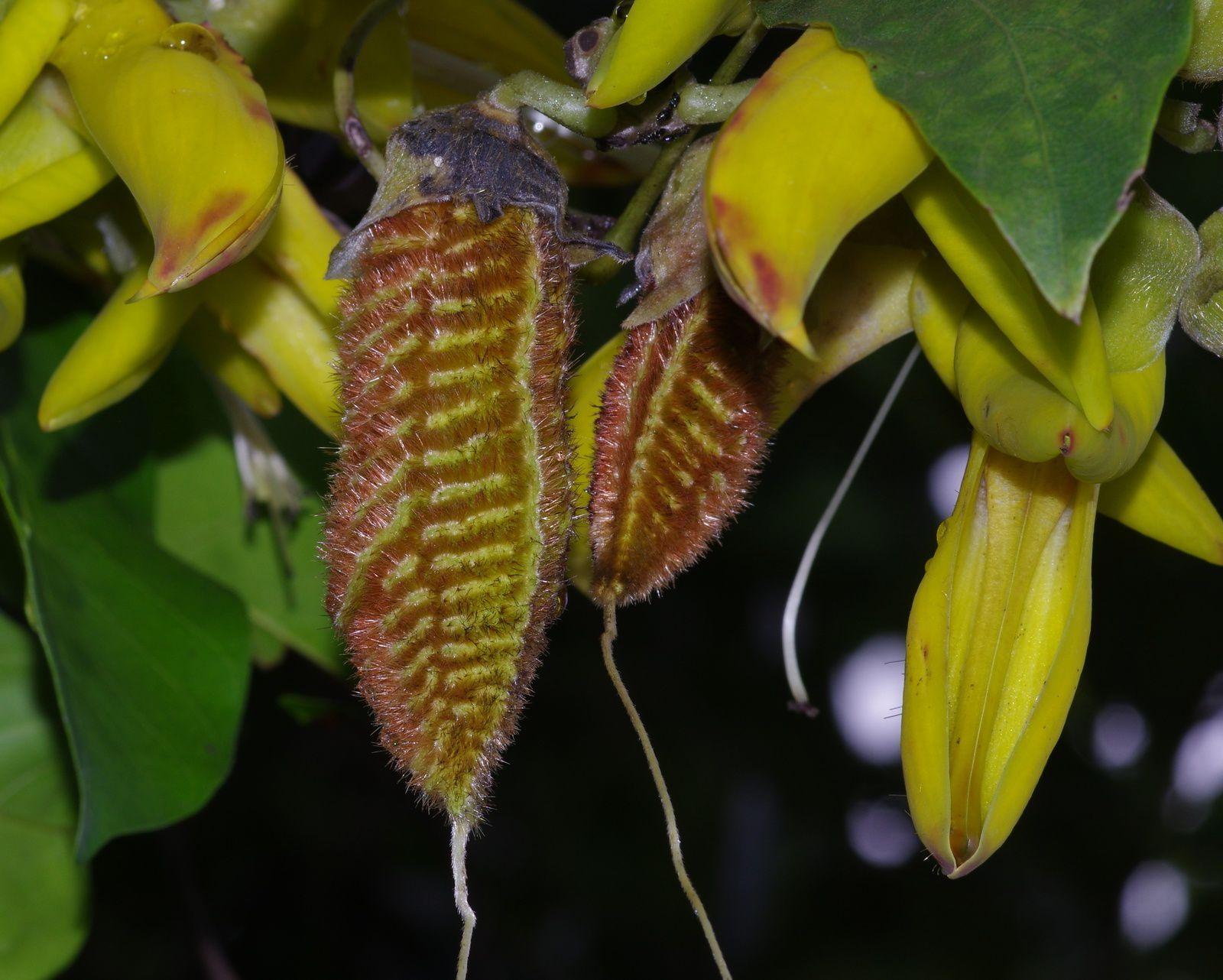 Mucuna sloanei (zieu bourrique, œil de bœuf, graine tonnerre)