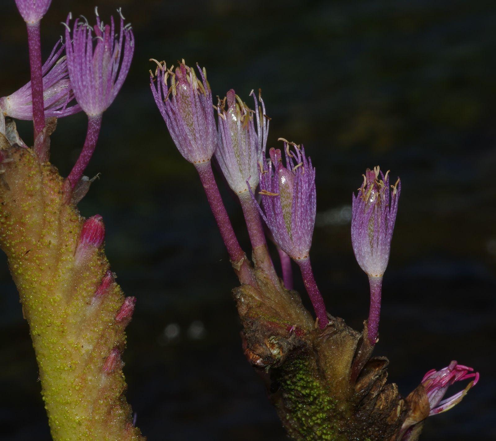 Mourera fluviatilis (salade coumarou)