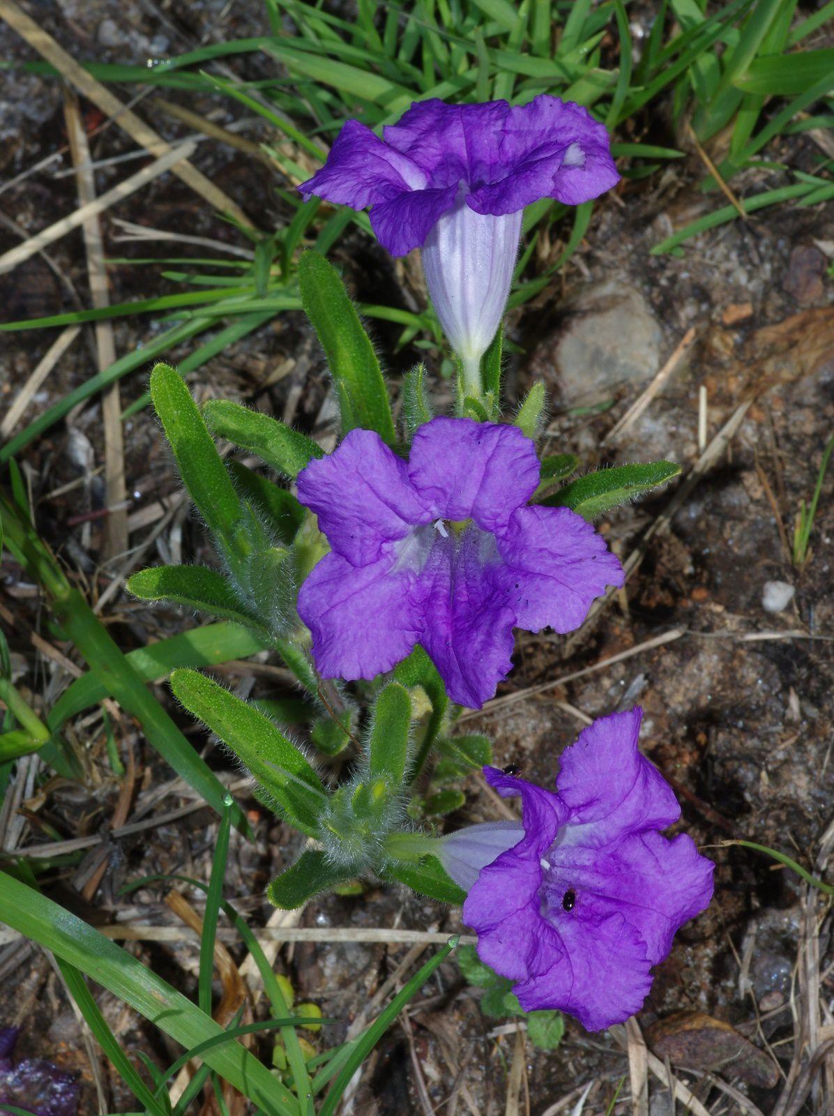 Ruellia geminiflora