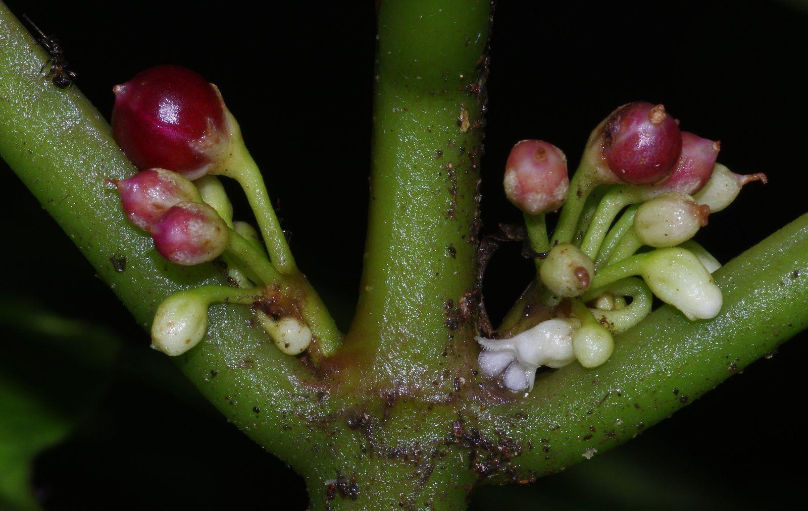 Besleria flavo-virens