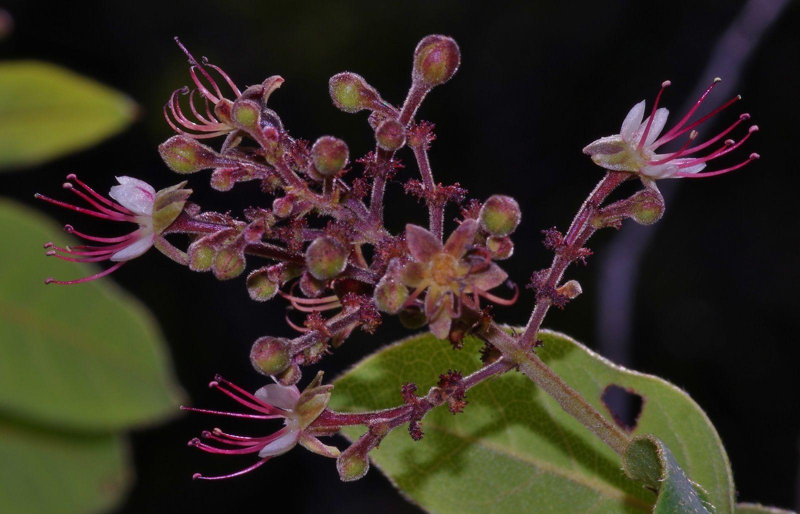 Hirtella ciliata
