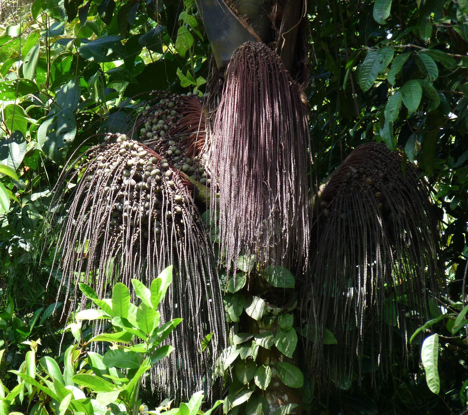 Oenocarpus bataua (patawa)