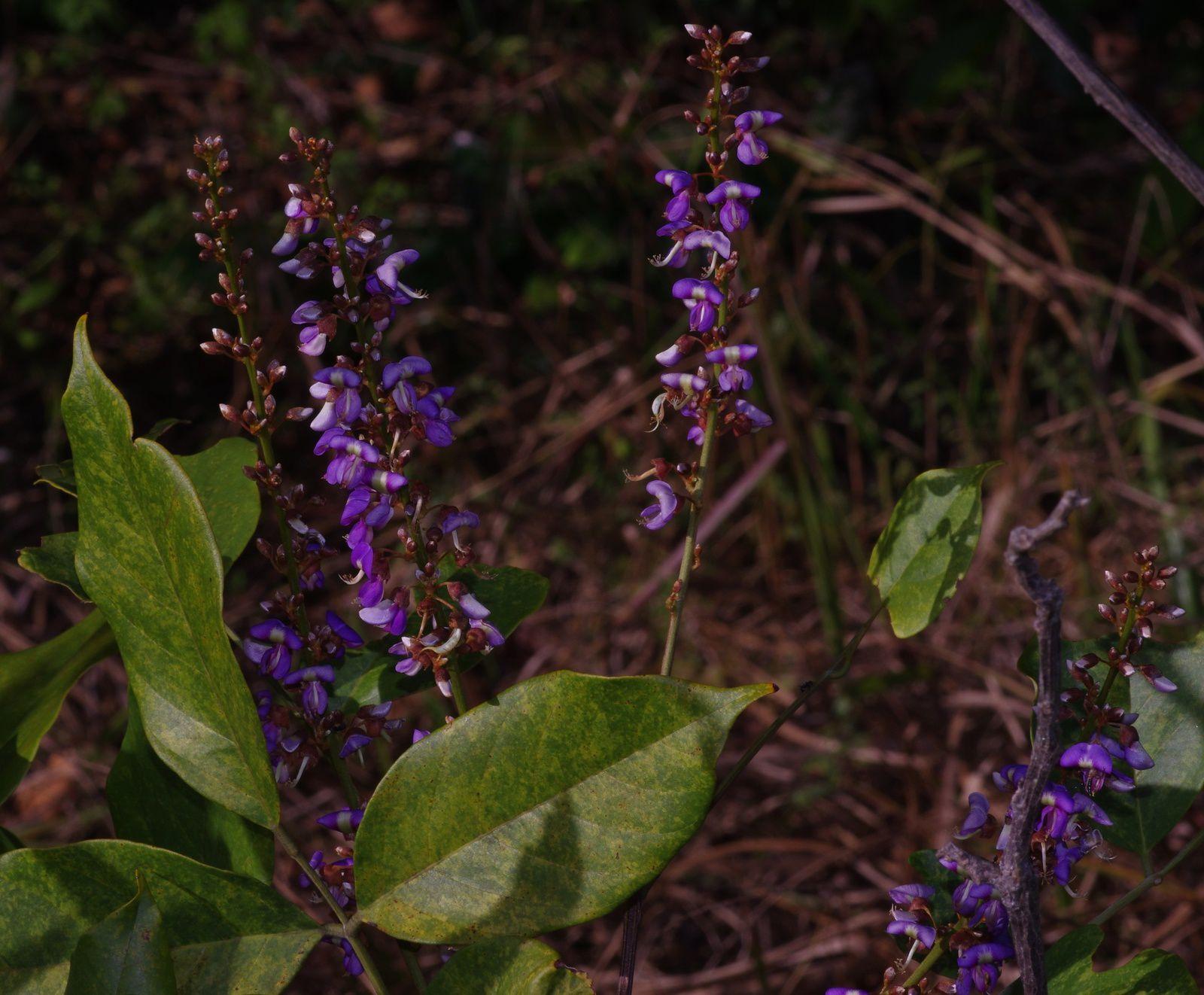 Deguelia nitidula (nivrée coton, nivrée femelle)