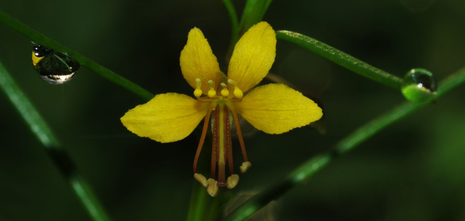 Cleome guianensis / Physostemon guianense