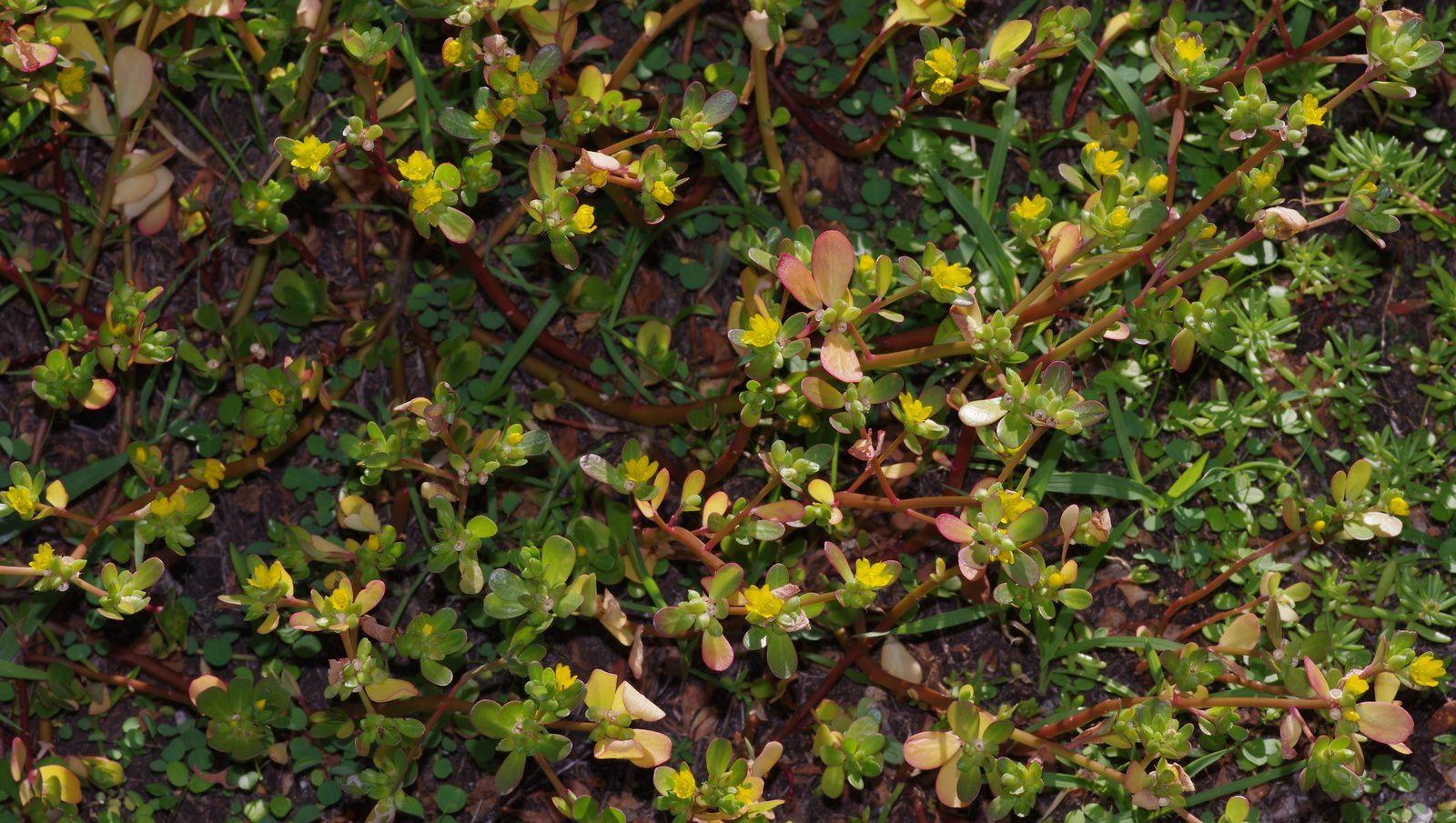 Portulaca oleracea (pourpier)