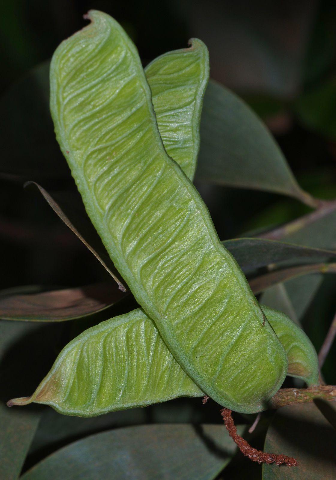 Acacia crassicarpa