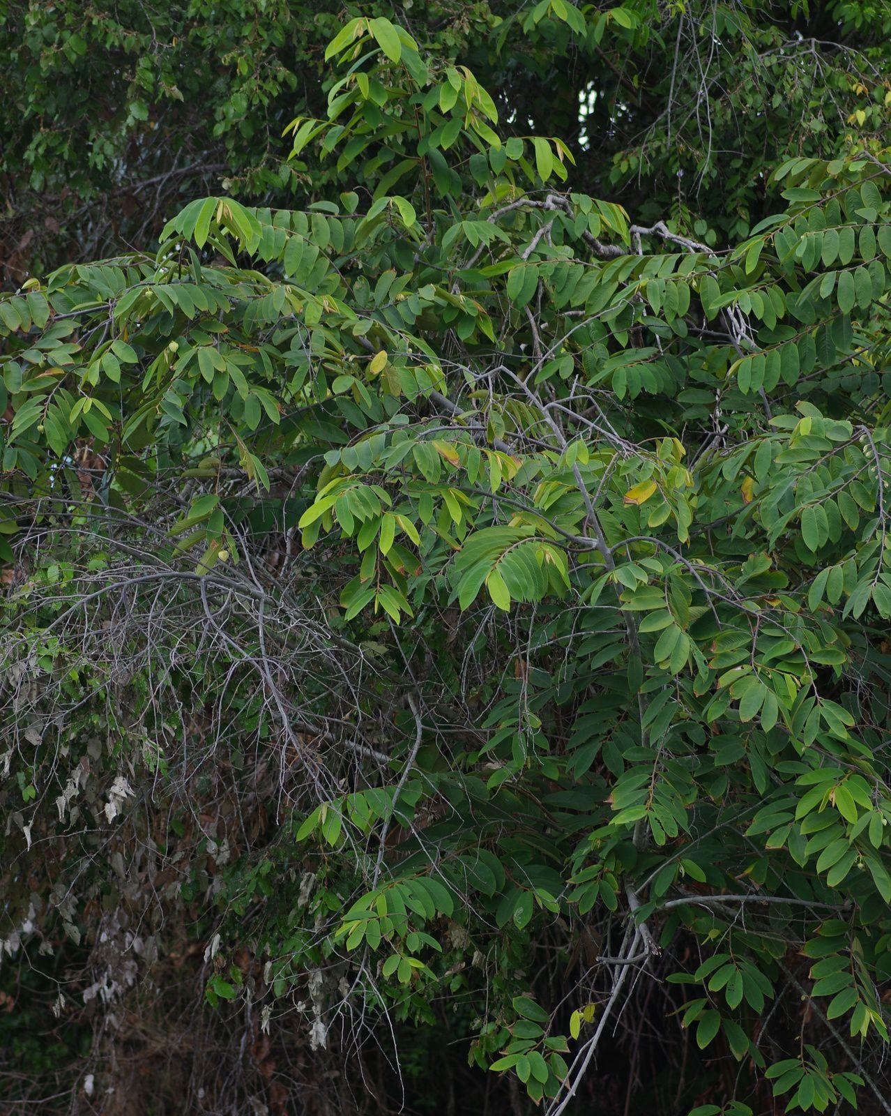 Annona paludosa (guimanmin)