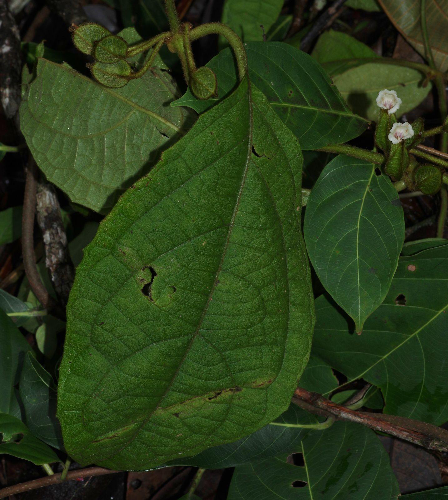 Mendoncia crenata