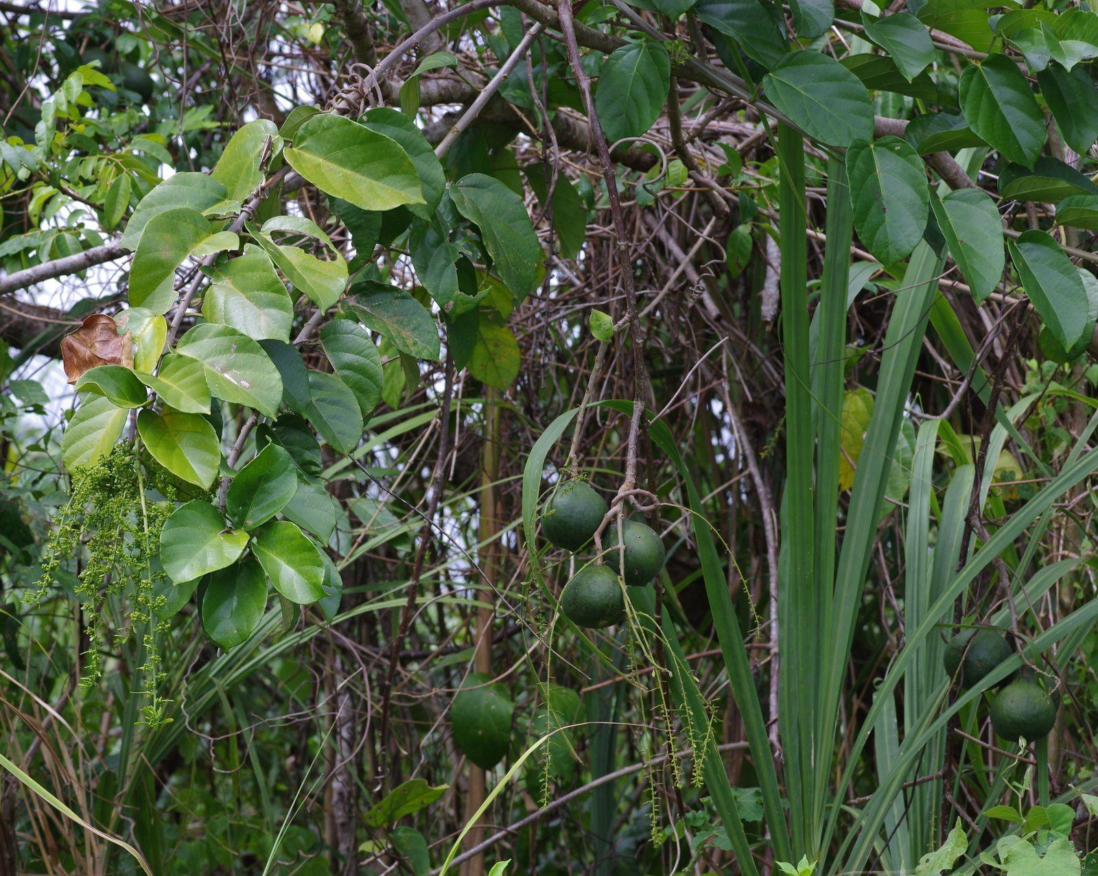 Omphalea diandra (ouabé)