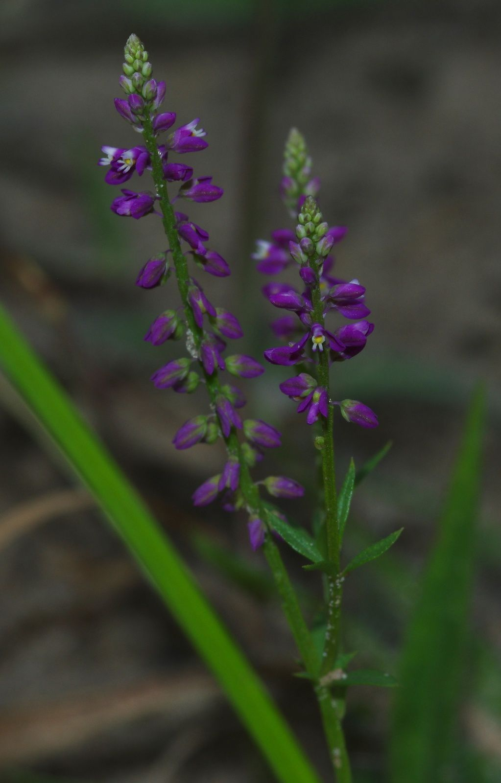 Polygala galioides
