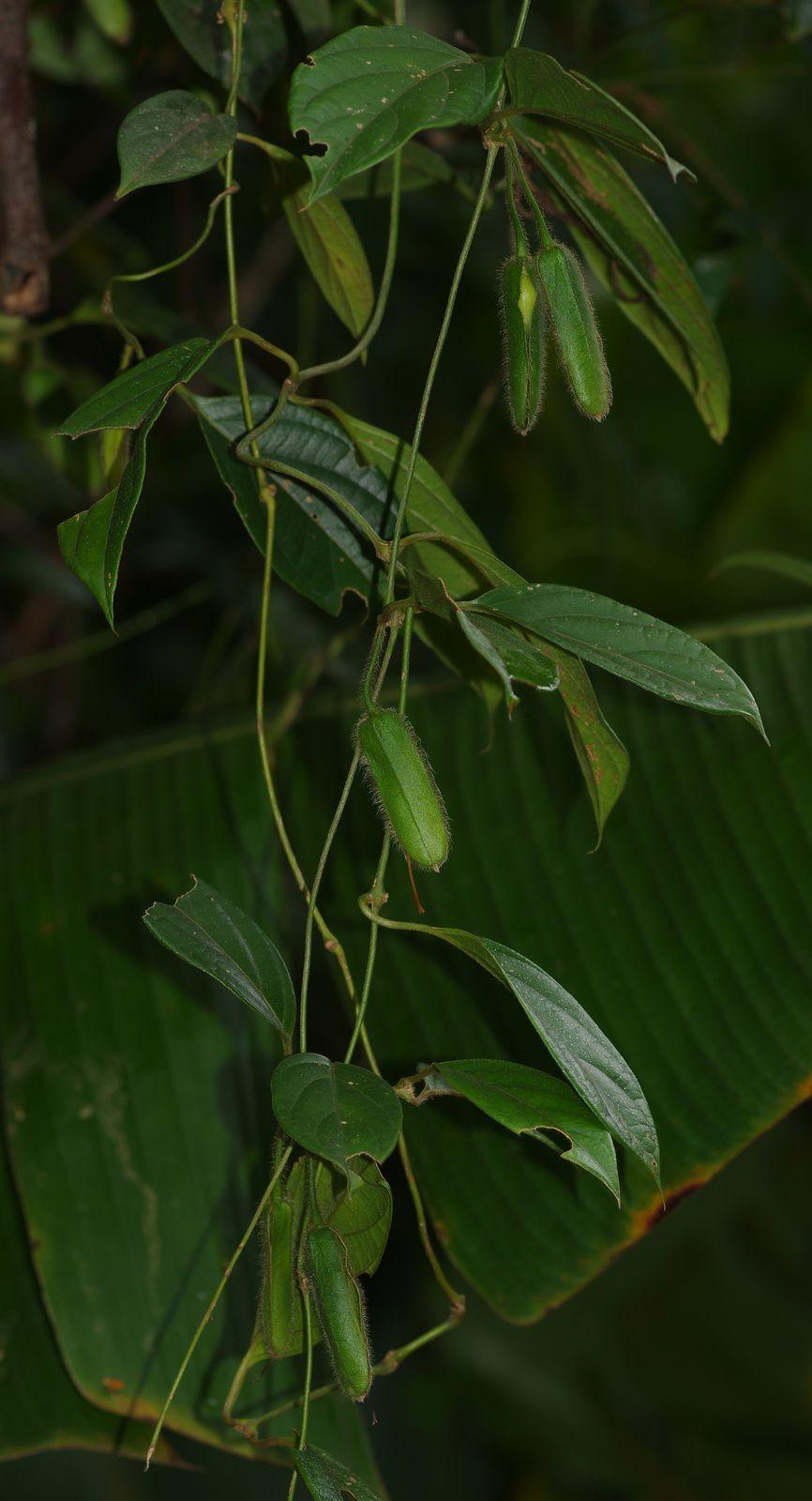 Mendoncia squamuligera (à confirmer)