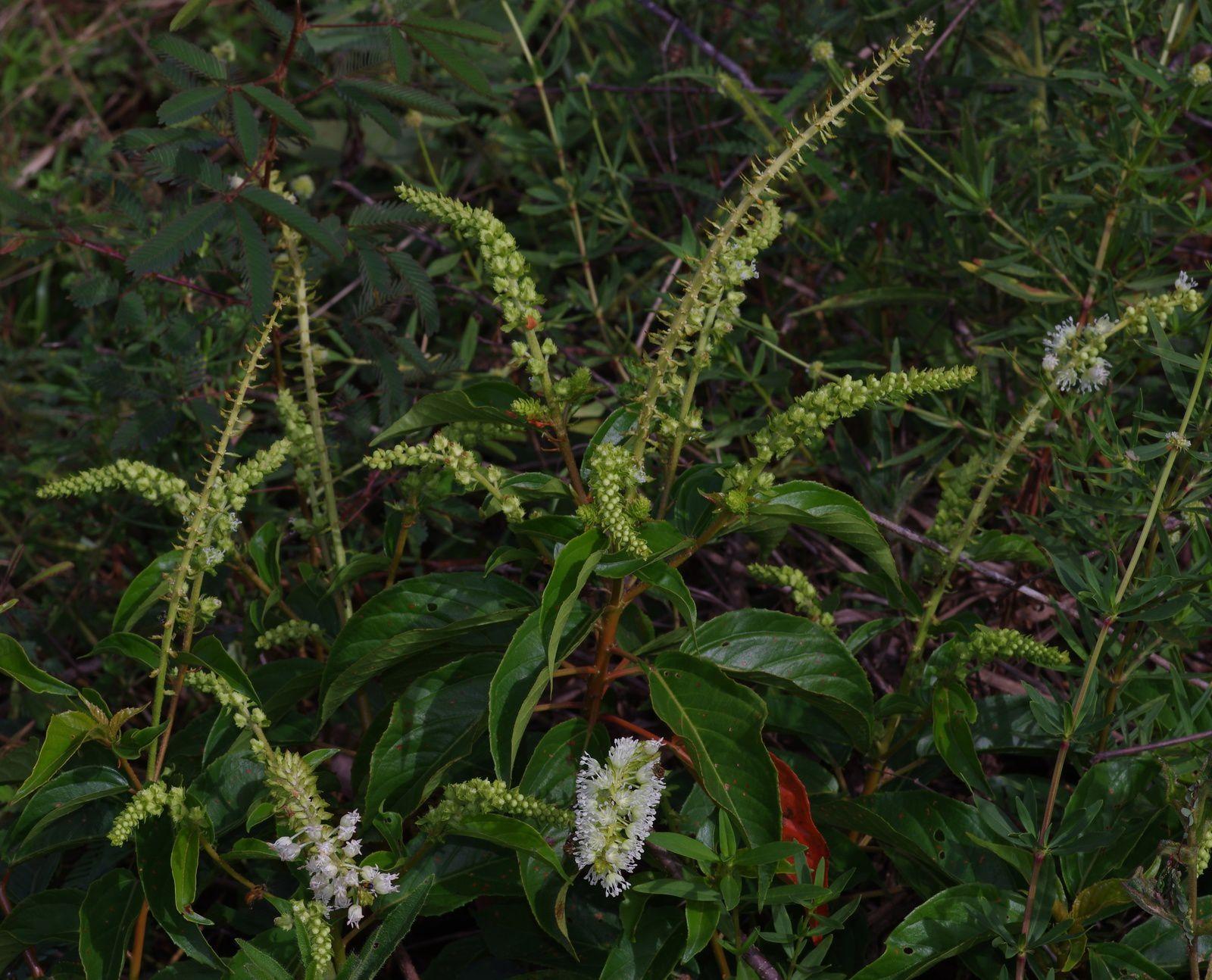 Croton guianensis
