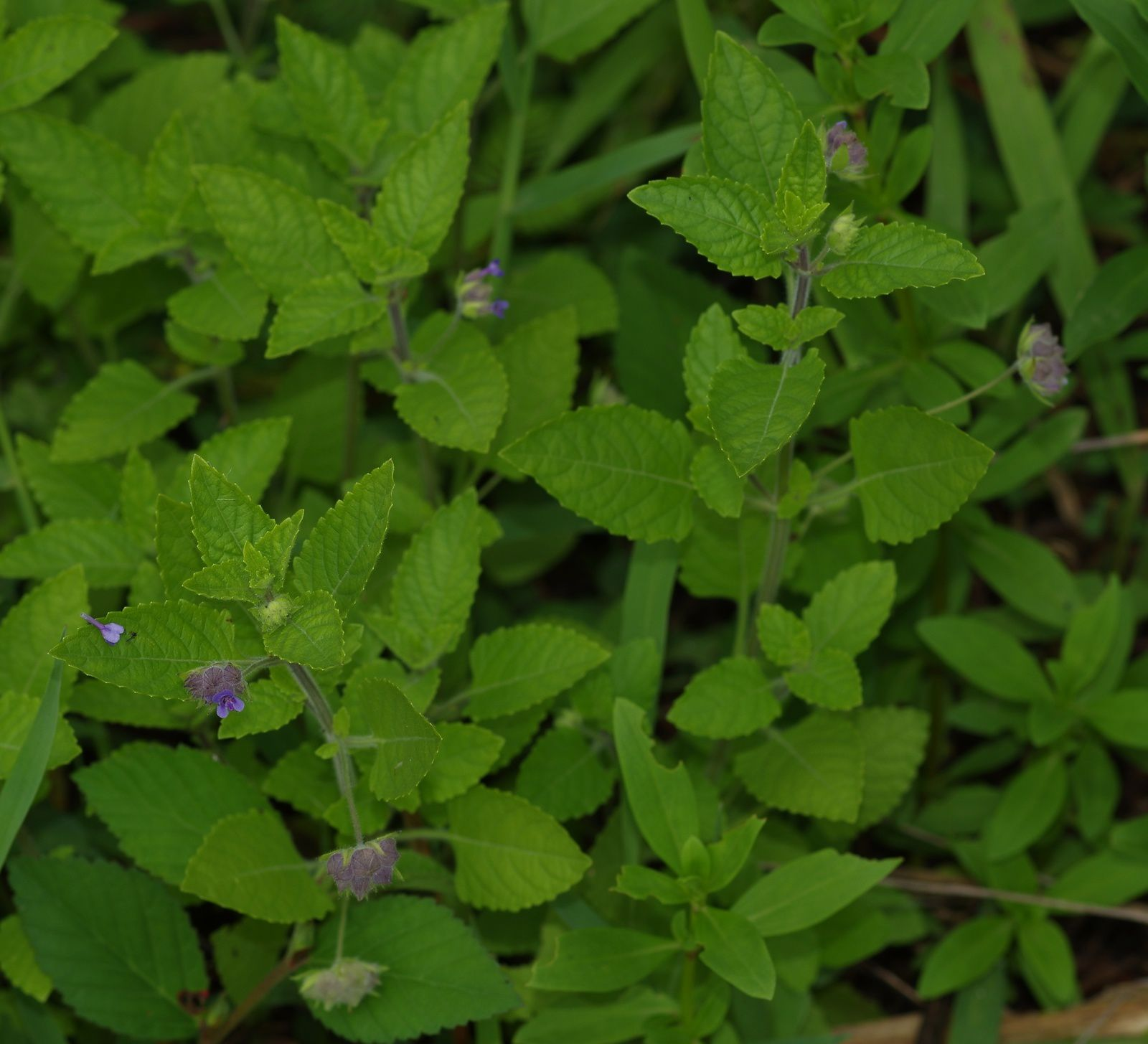 Marsypianthes chamaedrys (petit baume blanc)