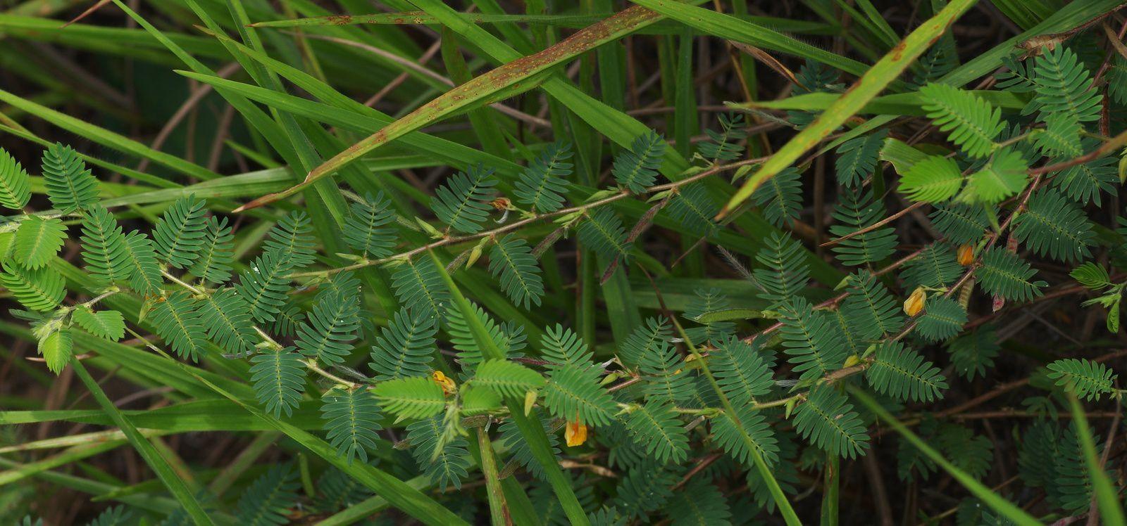 Chamaecrista calycioides