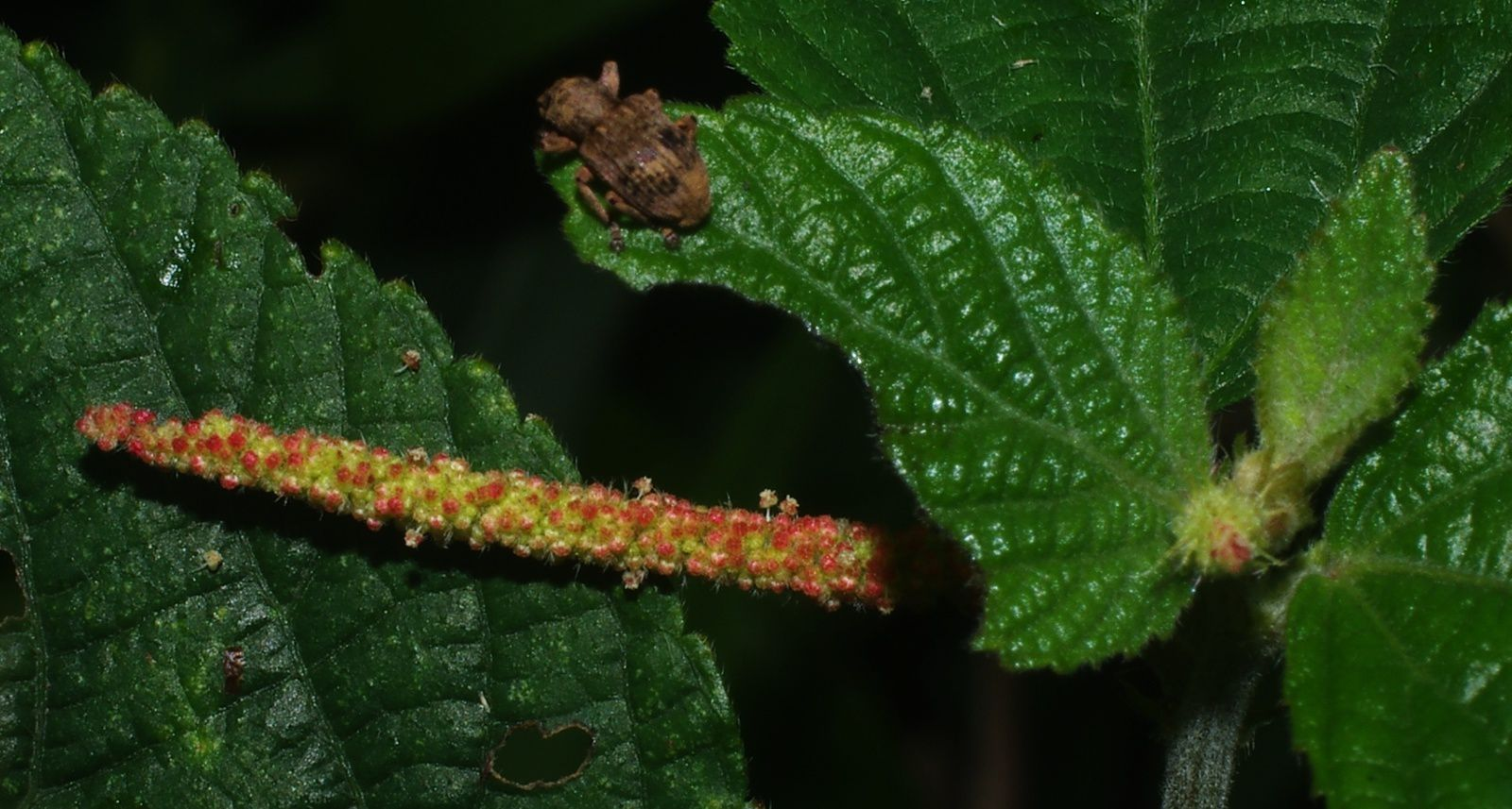 Acalypha aristata