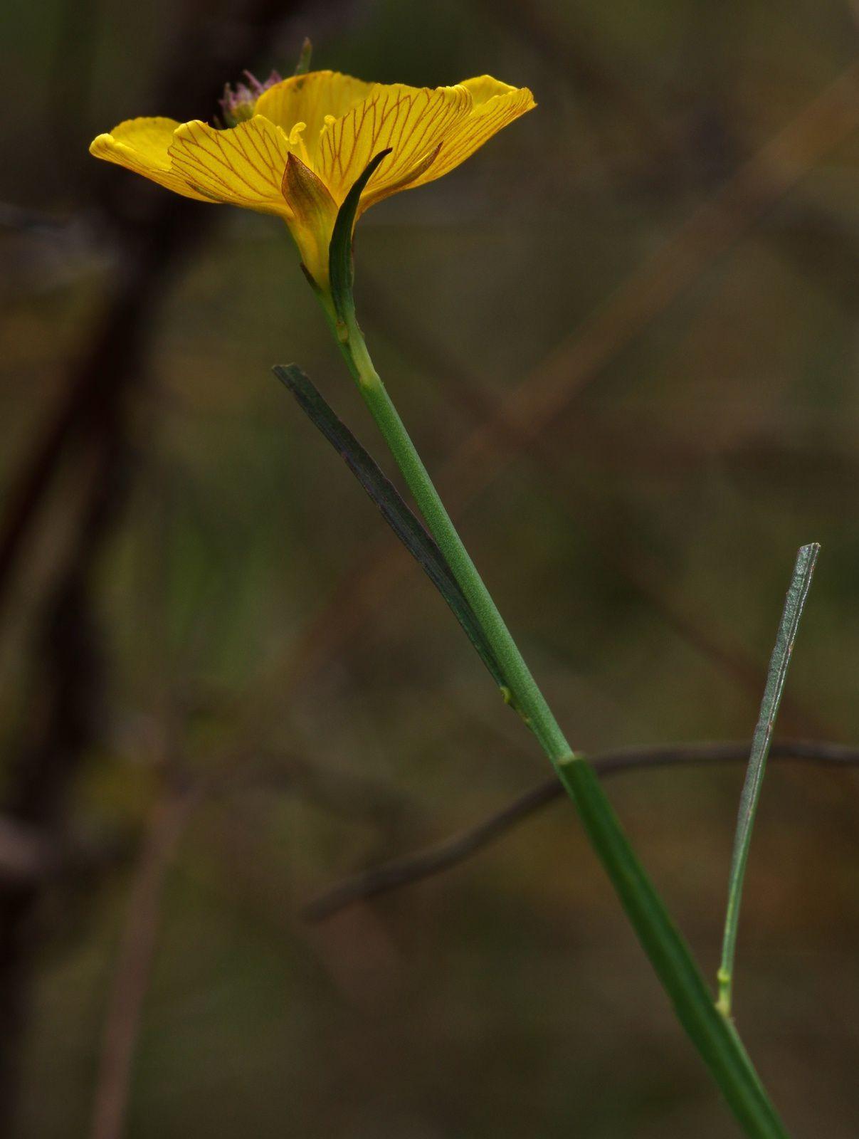 Turnera guianensis